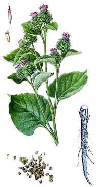 Lignan in Arctium lappa makes fasting deadlier for cancer cells