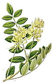 Few grams Astragalus daily improves endurance training performance by sixty percent