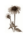 These Echinacea components kill cancer cells