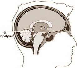 la glande pinéale