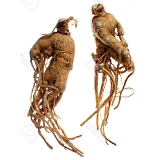 The ginseng steroid Rg1 makes humans fitter