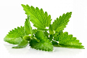 Mentha spicata extract fixes lapses in your memory